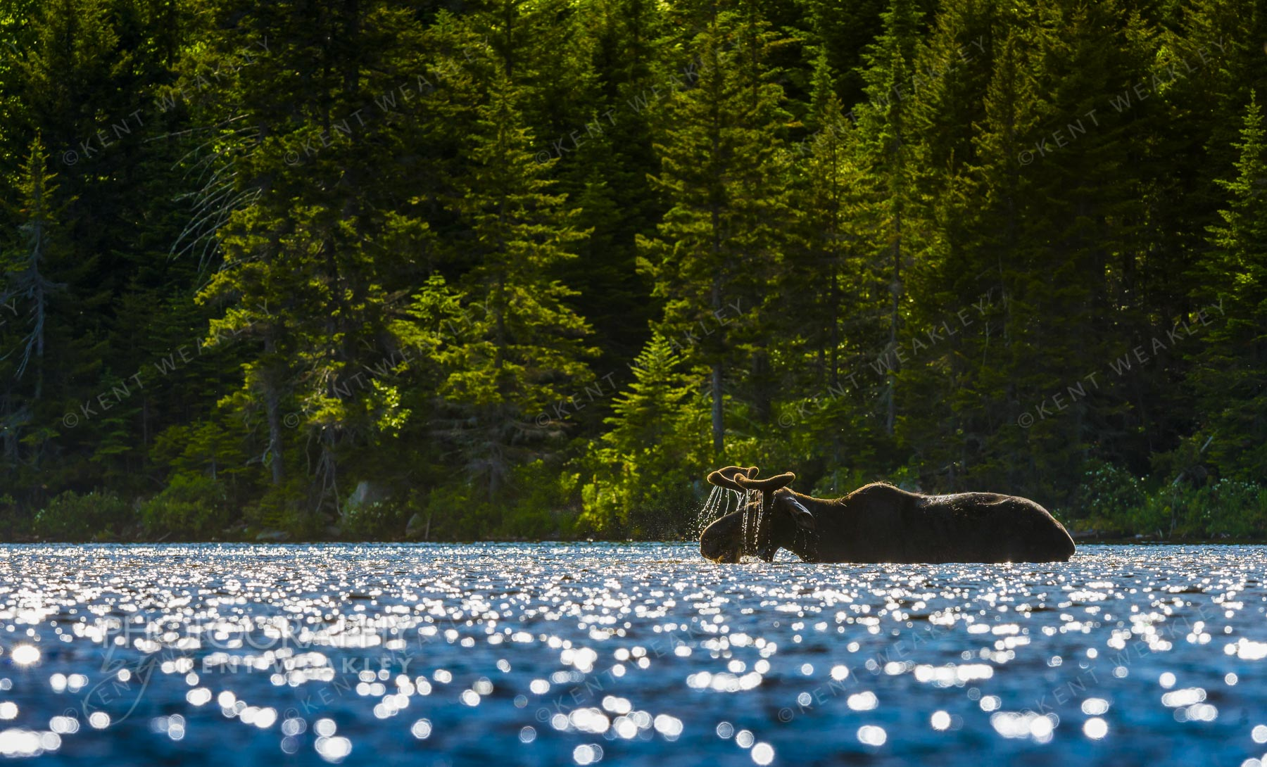 Maine Moose backlit in pond by Kent Weakley