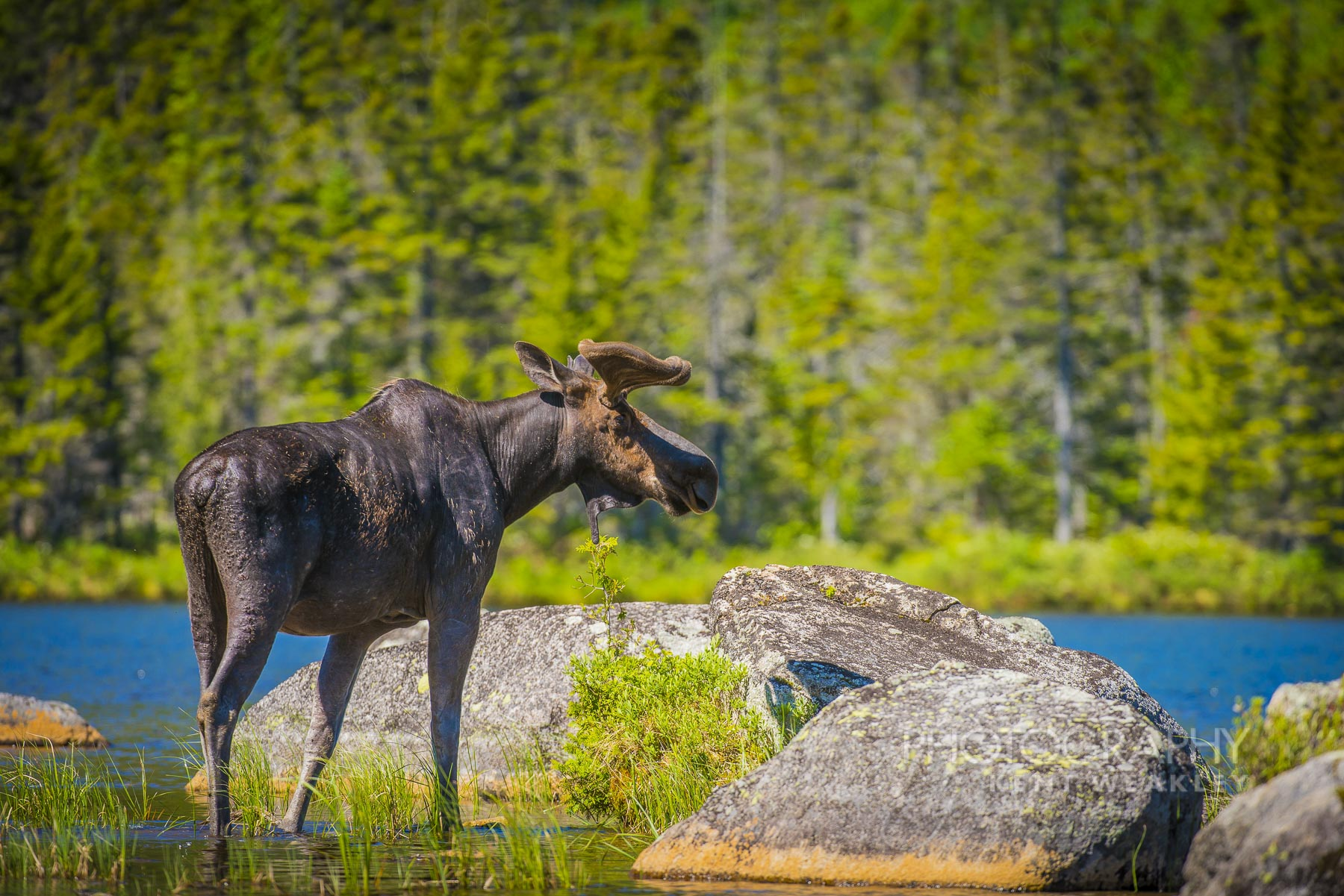 Moose_Photography_by_Kent_Weakley-87387
