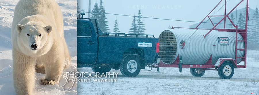 Polar_Bear_trap_Manitoba