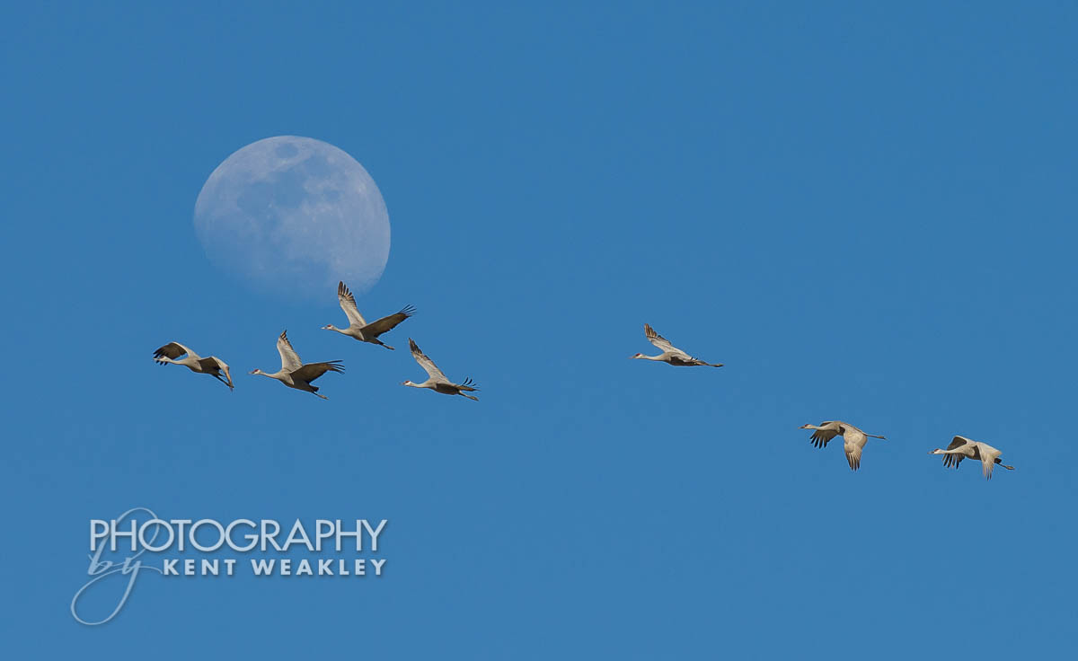 Sandhill Crane Migration Waiting for the Perfect Moon Shot