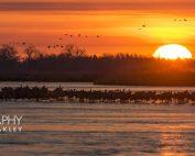 Sandhill Crane Migration Sun Rising On Roosting Flocks