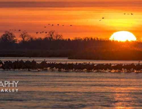 Sandhill Crane Migration Photography Exploration