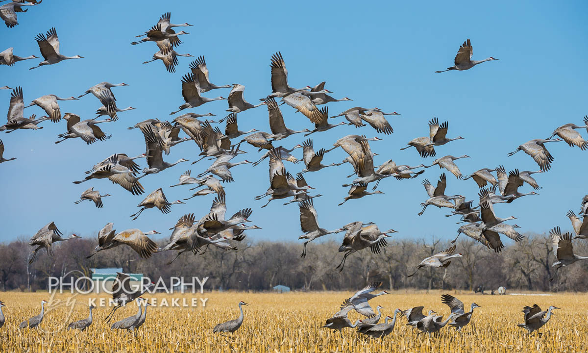 Sandhill Crane Migration Flock Lifting From Cornfield